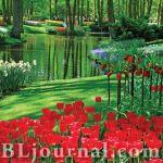 Тюльпан — весенний король