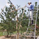Ниваки – садовый бонсай